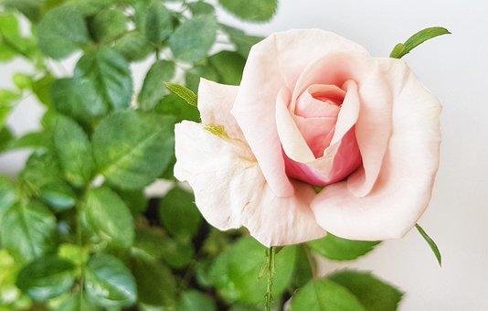 Rose, Background, Pink, Flora, Botanica, Nature, Plant