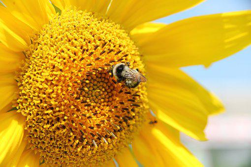 Sunflower, Plant, Flower, Summer, Yellow, Bumblebee