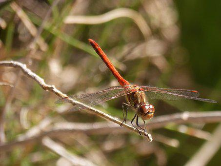 Dragonfly, Sympetrum Striolatum, Branch, Winged Insect