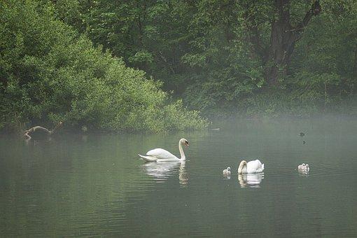 Swan, Lake, Water, Nature, Waters, Water Bird, Bird