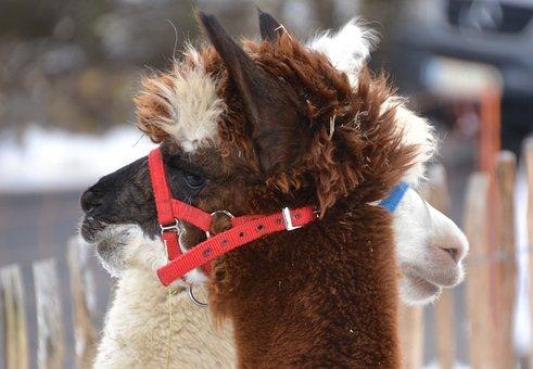 Alpaca, Brown, White, Mammal, Head, Fluffy, Close Up