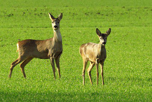 Wildlife, Roe Deer, Green Field