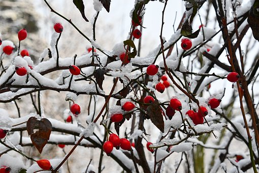 Rosehip, Plant, Berry, Winter, Snow, Cold, Branches