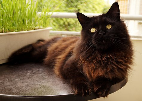 Cat, Maine Coon, Pet, Charming, Young, Animal, Hair
