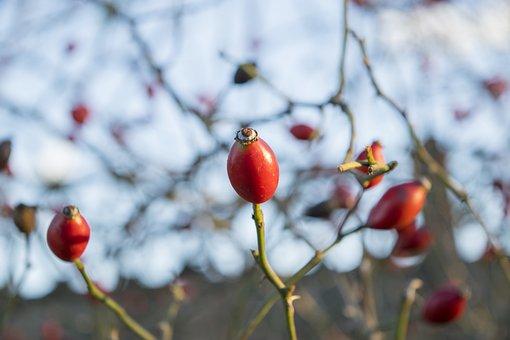 Berry, Plant, Elijah Clerici, Autumn, Nature, Red