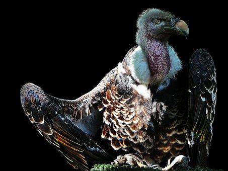 Vulture, Fractalius, Bird, Animal World, Nature