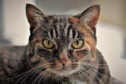 Cat, Mackerel, Domestic Cat, Cat Face, Cat's Eyes