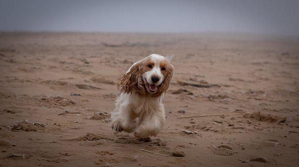 Dog, Cocker Spaniel, Life, Energy, Happy, Happiness