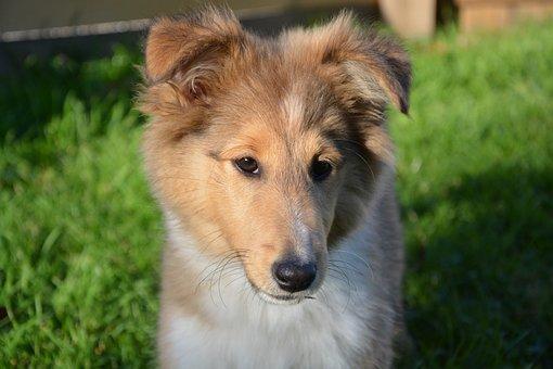 Dog, Bitch, Puppy, Dog Oubie, Shetland Sheepdog, Pup