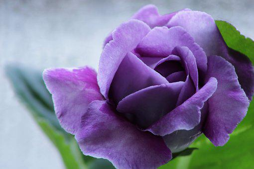 Gloxinia, Violet, Purple, Bloom, Flower, Blossom, Flora
