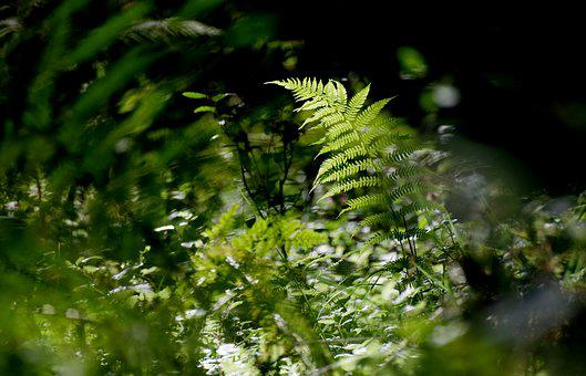 Fern, Forest, Nature, Green, Plant, Forest Floor, Flora