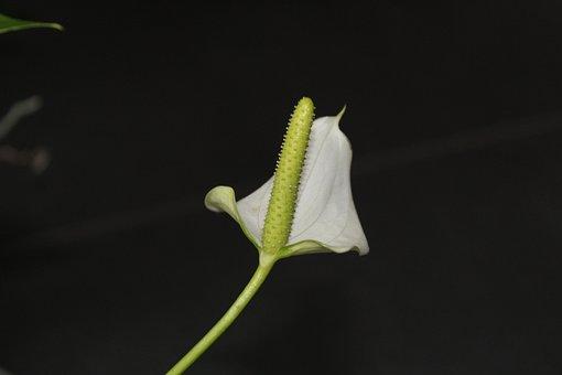 Anthurium, Flower, Arum, Blossom, Vegetable, Flora