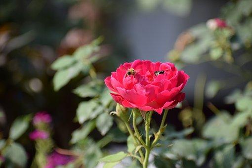 Rose, Flower, Nature, Blossom, Bloom, Plant, Summer