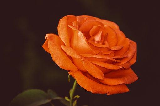 Rose, Flower, Floribunda, Rose Bloom, Beauty, Fragrance