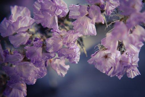 Sea Lavender, Limonium Flower, Flower, Purple, Nature