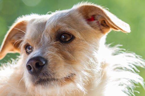 Terrier, Dog, Pet, Animal, Portrait, Friend, Play