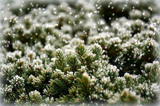 Fir Green, Ripe, Hoarfrost, Frost, Ice, Eiskristalle