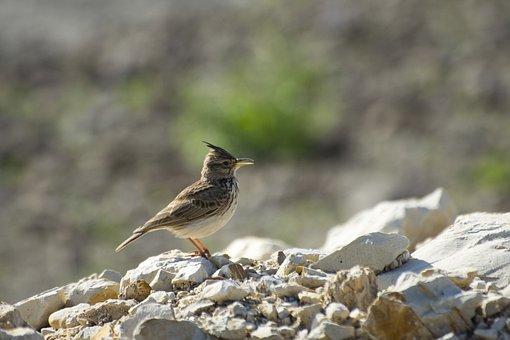 Bird, Desert, Israel, Nature, Wildlife, Landscape