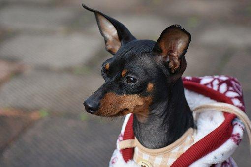 Animal, Dog, Doggie, Miniature Pinscher, German Dog