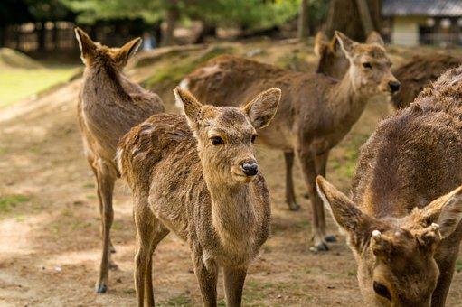 Japan, Nara, Park, Nature, Deer
