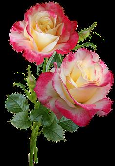 Roses, Flowers, Stems, Perfume, Garden, Nature