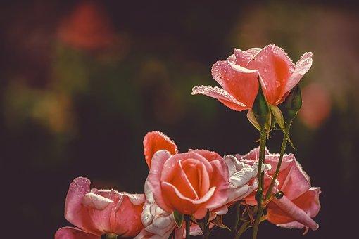 Rose, Flower, Blossom, Bloom, Pink, Plant, Raindrop