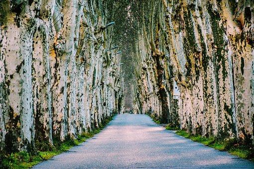 Tree Lined, Paved Road, Trees, Foliage, Plantane Trees