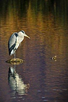 Lake, Water Bird, Grey Heron, Reflection, Waters