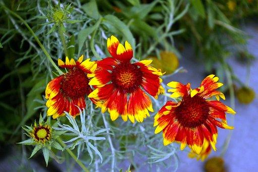 Utah Blanket Flowers, Gaillardia, Asteraceae, Sunflower