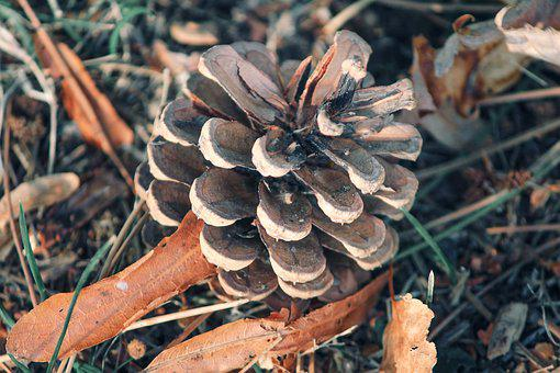 Pine Cones, Pine, Conifer, Tap, Close Up, Nature, Scale