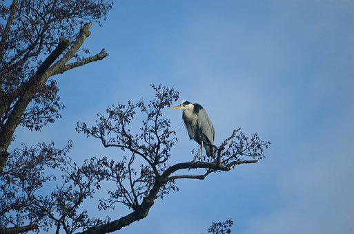 Grey Heron, Heron, Bird, Water Bird, Eastern, Animal