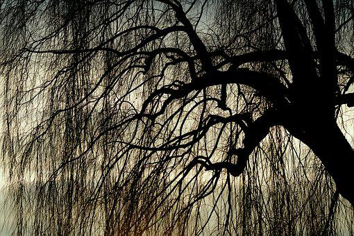 Weeping Willow, Pasture, Tree, Deciduous Tree, Nature