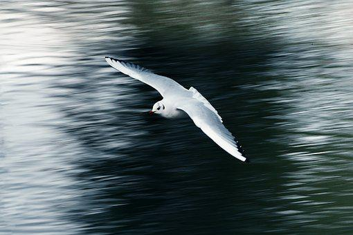 Seagull, Flying, Flight, Wing, Water, Animal