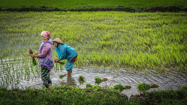 Vietnam, Women, Paddy, Agriculture, Emotions, Cheerful