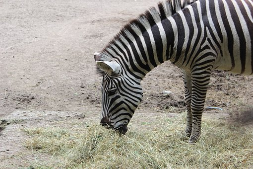 Zebra, Zoo, Black, White, Striped, Crosswalk