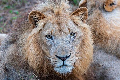 Africa, Lion, Safari, Predator, Animal, Animal World