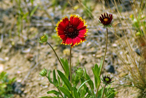 Blanket Flower At Rmnp, Gaillardia, Asteraceae