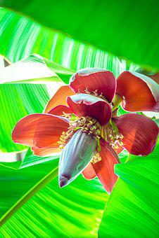 Banana Flower, Greenhouse, Plants, Mellowness, Flowers