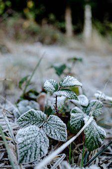 Frost, Berries, Leaves, Winter, Ice, Nature, Snow, Bush