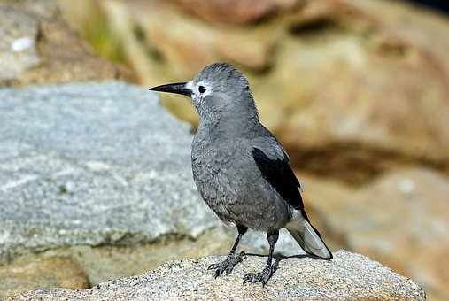 Clark's Nutcracker In Colorado, Bird, Clark's