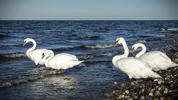 Swan, Bird, Plumage, Animal, Nature, Feather, Bill