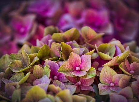 Hydrangeas, Blossom, Bloom, Background, Pink, Purple