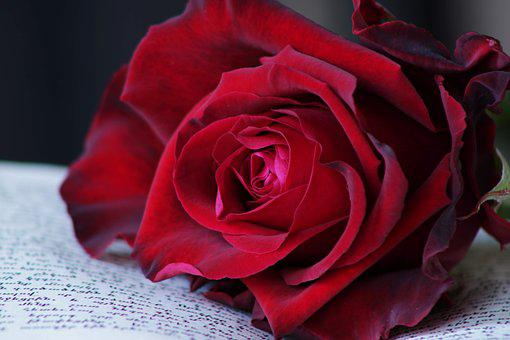 Red Rose, Book, Rose, Feeling, Passion, Flower