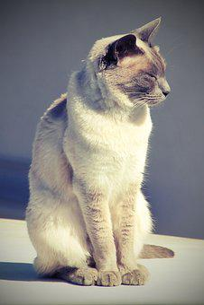 Cat, Siam, Siamese Cat, Mieze, Breed Cat, Kitten