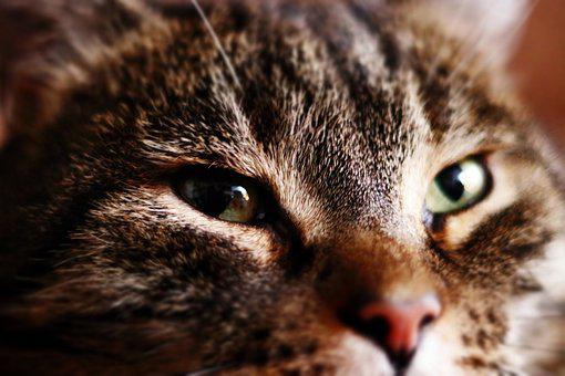 Cat, Eye, Face, Domestic Cat, Cat Face, Close Up