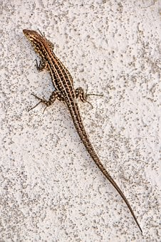 Animal, Nature, Lizard, Wall, White, Brown, Close Up