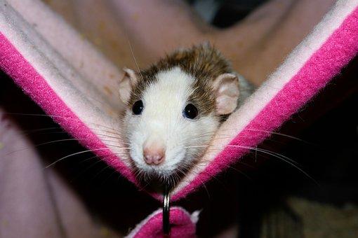 Rat, Female, Color Rat, Hammock, Rodent, Pet, Cute