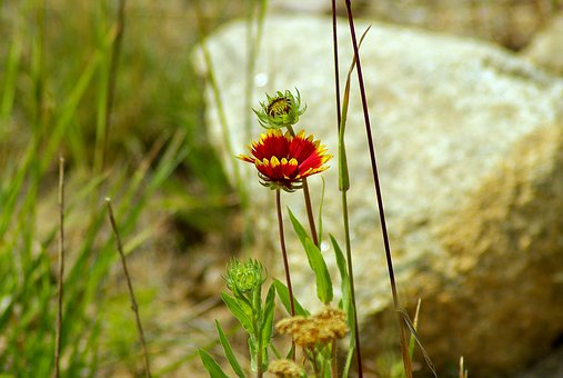 Colorado Blanket Flower, Gaillardia, Asteraceae