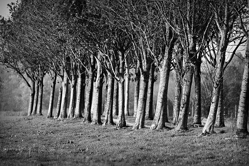 Row Of Tree, Tree Lined, Trunk, Lane, Country Road