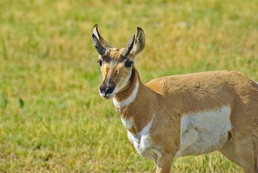 Pronghorn In South Dakota, Antelope, Pronghorn, Custer